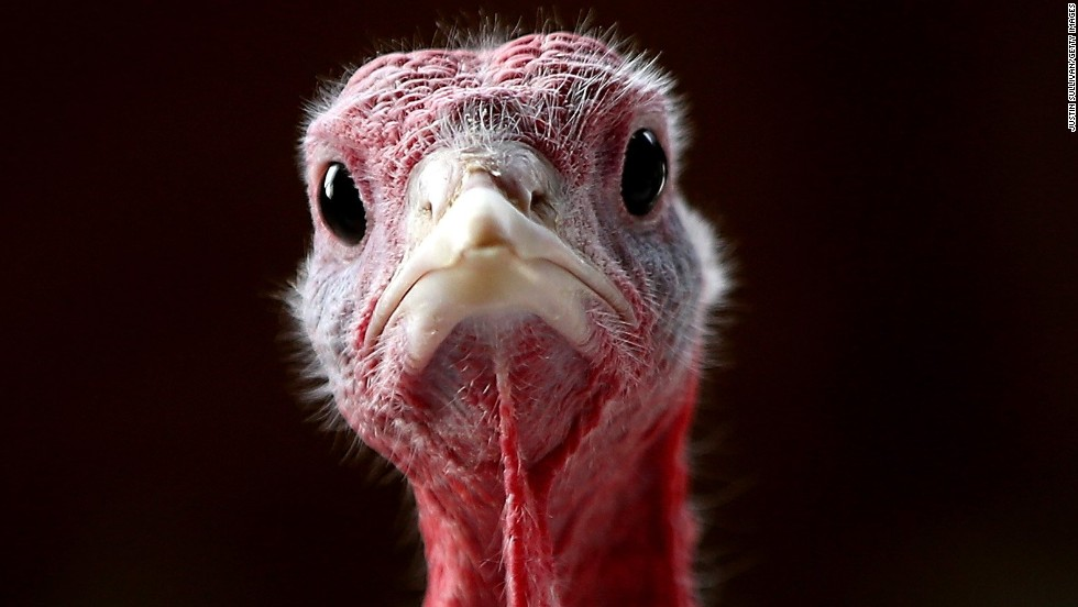 SONOMA, CA - NOVEMBER 26: With less than one week before Thanksgiving, a turkey sits in a barn at the Willie Bird Turkey Farm November 26, 2013 in Sonoma, California. An estimated forty six million turkeys are cooked and eaten during Thanksgiving meals in the United States. (Photo by Justin Sullivan/Getty Images)